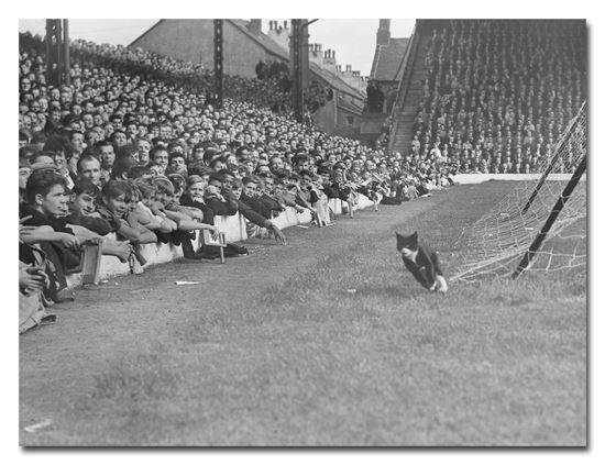 Imagen de Lienzo [60x40] - Gato en Anfield